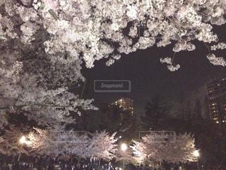 桜並木の写真・画像素材[1680869]