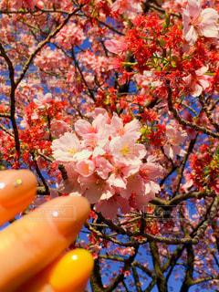 女性,花,桜,花見,春ネイル