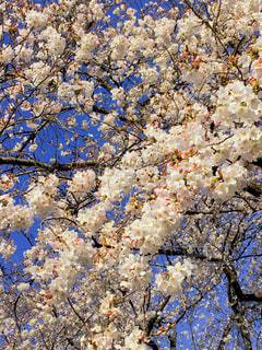 女性,花,春,花見,さくら
