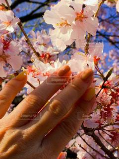 女性,花,手,花見,人,さくら