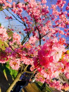 桜,花見,鮮やか,カラー