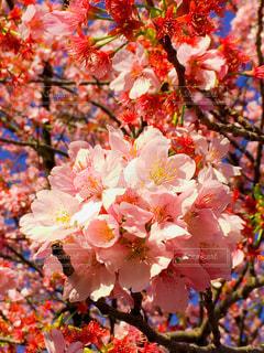 花,春,桜,鮮やか,樹木,桜の花,さくら