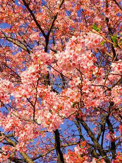 桜の木の写真・画像素材[3037994]