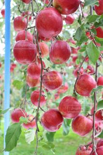 赤いリンゴ - No.903363