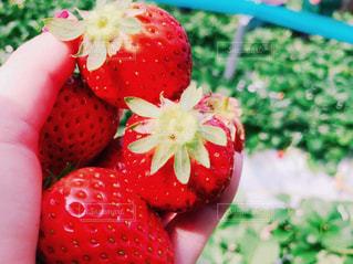 赤,いちご,フルーツ,おいしい,いちご狩り,友達,完熟