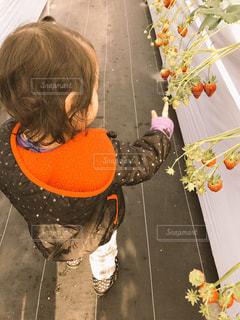 いちご,イチゴ狩り,初めて記念日,娘ちゃん