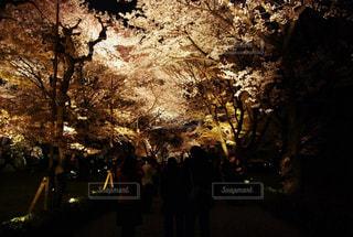 桜,京都,夜桜,観光,ライトアップ,二条城