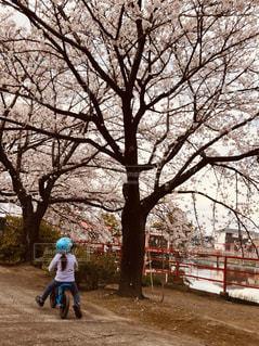 子ども,家族,春,桜,自転車,屋外,花見,女の子,満開,樹木,お花見,人,幼児,サイクリング,お散歩,ソメイヨシノ,さくら