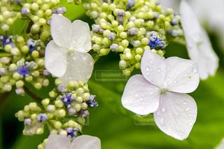 花,雨,紫陽花,雫,梅雨,草木