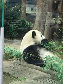 パンダさんはごはん中!の写真・画像素材[901883]