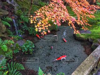 庭の池を飛行する錦鯉のグループ - No.907912