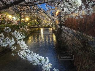 祇園白川の桜の写真・画像素材[907918]