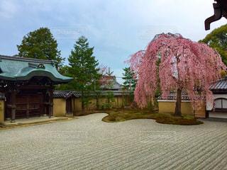 高台寺のしだれ桜の写真・画像素材[909103]
