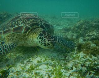動物,かわいい,沖縄,水中,旅行,カメ,海底