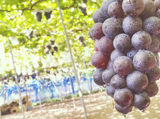 秋,果物,ブドウ,ぶどう狩り,ぶどう,グレープ