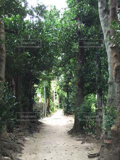 森,緑,南国,林,沖縄,旅行,昼,一本道,フクギ