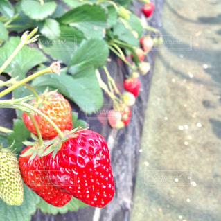 春,いちご,苺,フルーツ,いちご狩り,横須賀,レジャー,ゴールデンウィーク,GW,イチゴ