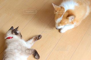 床に横になっているコーギーとシャム猫 - No.976225