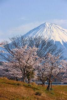 桜と富士山の写真・画像素材[1128660]