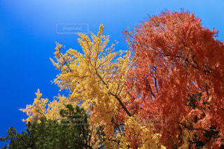 大きな木の写真・画像素材[907087]