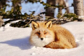 雪に覆われたキツネの写真・画像素材[907205]