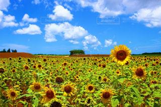 フィールド内の黄色の花 - No.908301