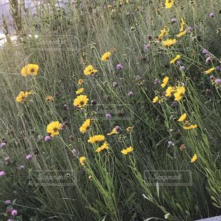 フィールド内の黄色の花の写真・画像素材[1378633]