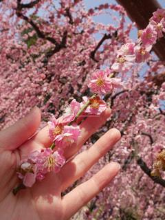 しだれ梅の写真・画像素材[1122050]