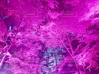 木,京都,ピンク,神社,下鴨神社,チームラボ,pink