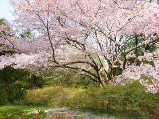 花,春,桜,木,ピンク,#奈良県