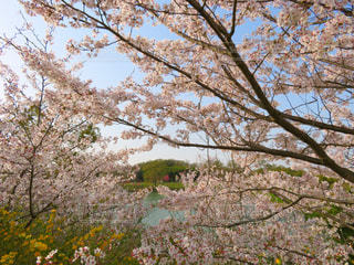花,春,桜,木,ピンク,緑,山,草木,#奈良県