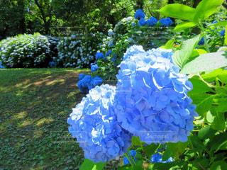 緑,白,晴れ,青,紫陽花,梅雨,6月,コンテスト,日中,沢山,アジサイ,梅雨をふき飛ばそう