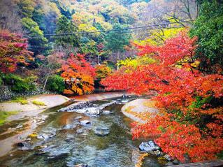 紅葉,京都,赤,川,もみじ,観光,八瀬