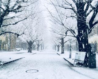 イチョウ並木に雪の写真・画像素材[910079]