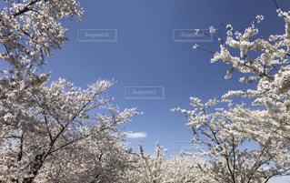 タイダルベイスンの桜、満開の写真・画像素材[1134139]