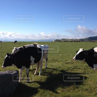 牛と牧場の朝の写真・画像素材[1136124]