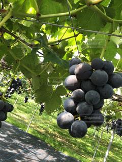 草の上に座っている果物のグループ カバー フィールドの写真・画像素材[910702]