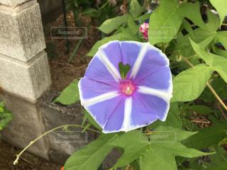 花,庭,屋外,紫,ガーデニング,ハート