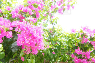 花,ピンク,沖縄,旅行,ブーゲンビリア