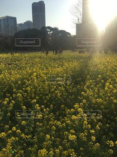 春,東京,菜の花,浜離宮