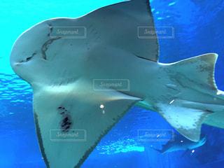 魚,かわいい,青,水族館,沖縄,水中,旅行,顔,美ら海水族館,表情,エイ,怒り,しかめっ面