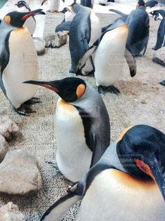 動物,かわいい,水族館,ペンギン,いっぱい,癒し,休日,群れ,アニマル,おでかけ,お出かけ,キングペンギン,オウサマペンギン