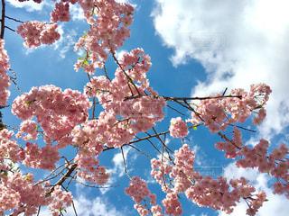 桜の写真・画像素材[1118489]