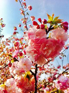 桜の写真・画像素材[1121447]