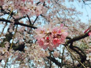 桜の写真・画像素材[1122269]