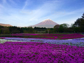 富士山と芝桜の写真・画像素材[1122309]