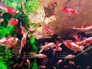 金魚の写真・画像素材[1598770]