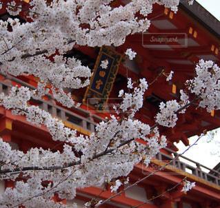桜,神社,神戸,生田神社
