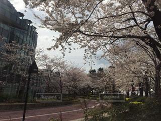 風景,空,桜,TOKYO,都会,東京都,六本木,Travel,trip,東京ミッドタウン,さくら,曲がり道,東京旅行