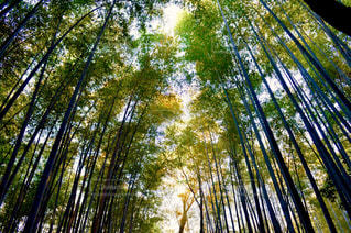 竹林の写真・画像素材[913367]